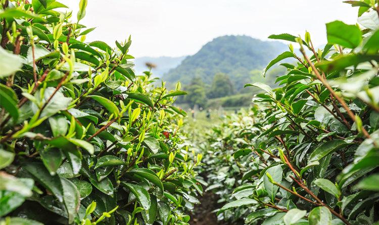 峨眉山名茶供货商-供应四川销量好的峨眉山名茶