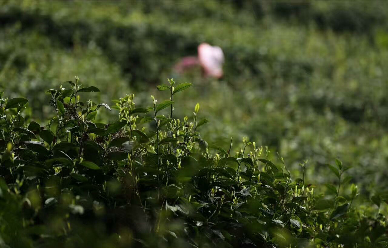减肥茶|有口皆碑的茶叶供货商