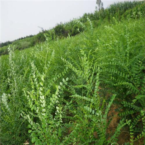 牡丹江占地樹苗廠家|供應吉林品種好的占地樹苗