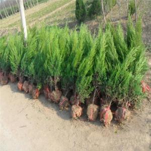 丹东占地树苗价格-哪里有供应占地树苗