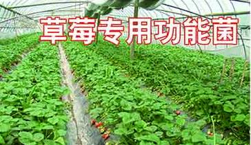 有机肥菌剂供货商-草莓专用功能菌哪个厂家好