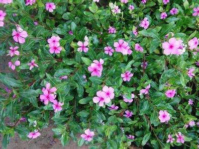 河北天天开|丰阳花卉苗木质量好的天天开出售