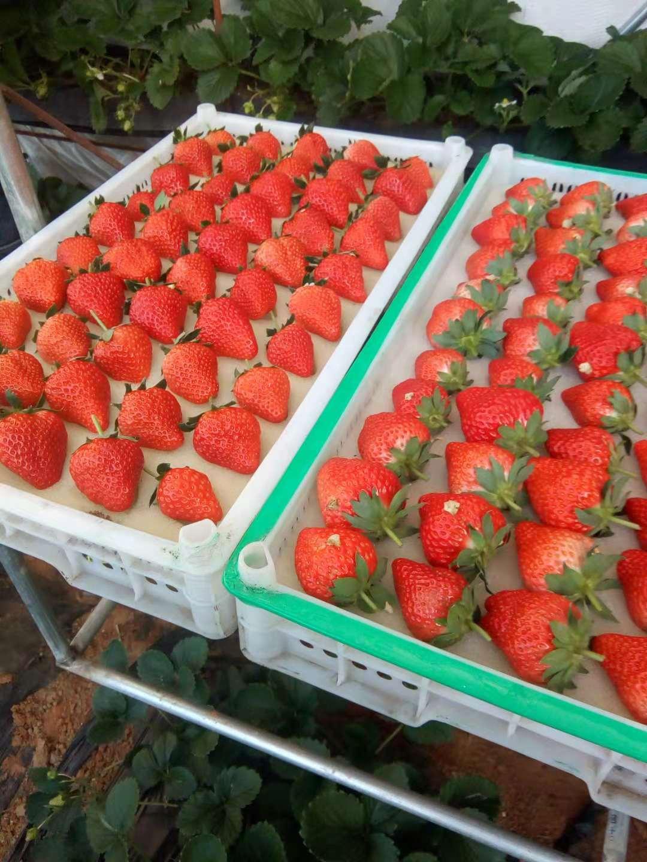 草莓价格|供应安全放心的草莓种植