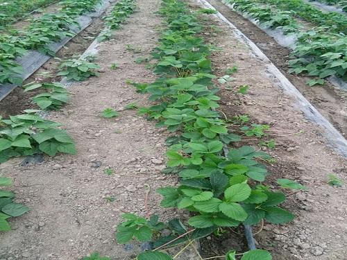 丹东法兰地草莓苗哪家好-石家庄法兰地草莓苗厂家