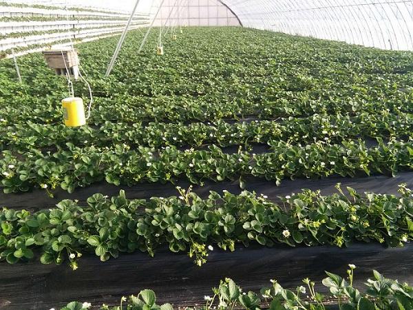 法兰地草莓苗多少钱一株-法兰地草莓苗哪家好