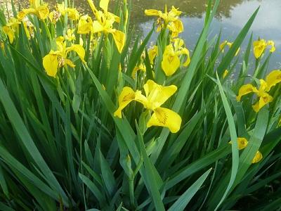 山东水生鸢尾-口碑好的水生鸢尾兴凯花卉苗木供应