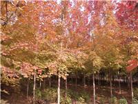 【鸿泽感恩我们的顾客】美国红枫&北美红枫&自由人槭&银白槭