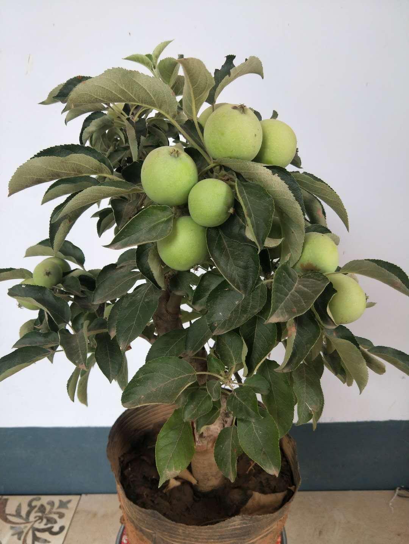 果樹盆栽|專業的果樹盆栽供應商推薦