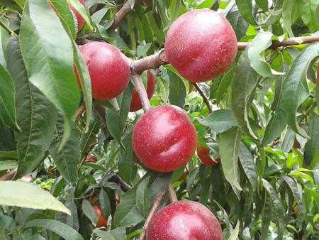 江苏珍珠枣油桃苗批发-供应山东品种好的珍珠枣油桃苗