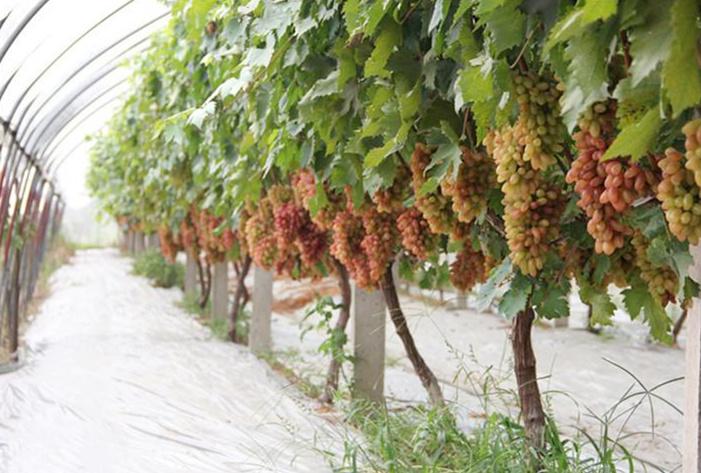 【福禮反光膜】農用果樹反光膜蘋果反光膜增產上色反光膜