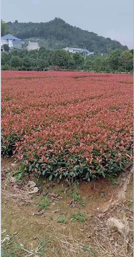 新型红叶石兰|想买销量好的红叶石兰,就到和昌绿化苗木