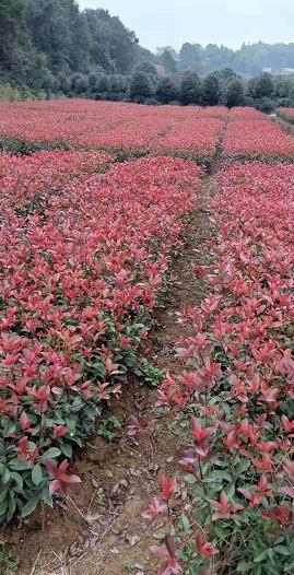 零售紅葉石蘭-和昌綠化苗木出售劃算的紅葉石蘭