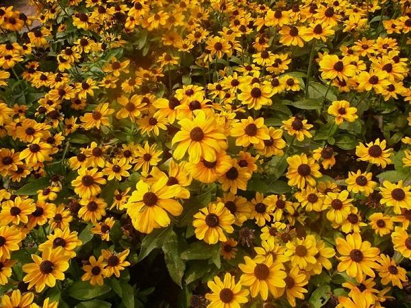 黑心菊种植基地《含苞待放》黑心菊价格@黑心菊供应