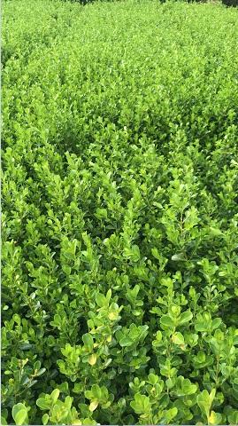 小葉黃楊哪里有-想買品質好的大葉冬青條,就到和昌綠化苗木