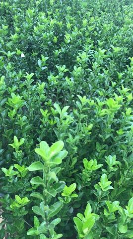 大叶冬青条厂家-来和昌绿化苗木-买实惠的大叶冬青苗