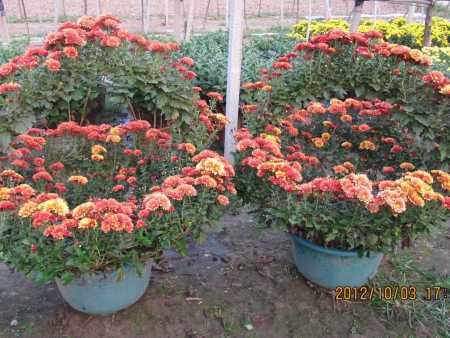 【看见我就是缘分!】菊花造型出售!菊花造型培育!菊花造型种植