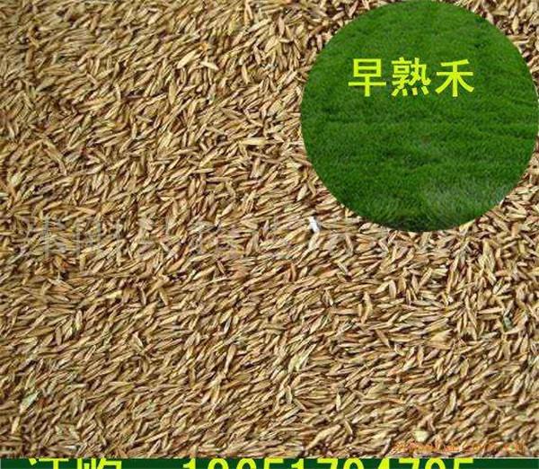 垂穗披碱草种子
