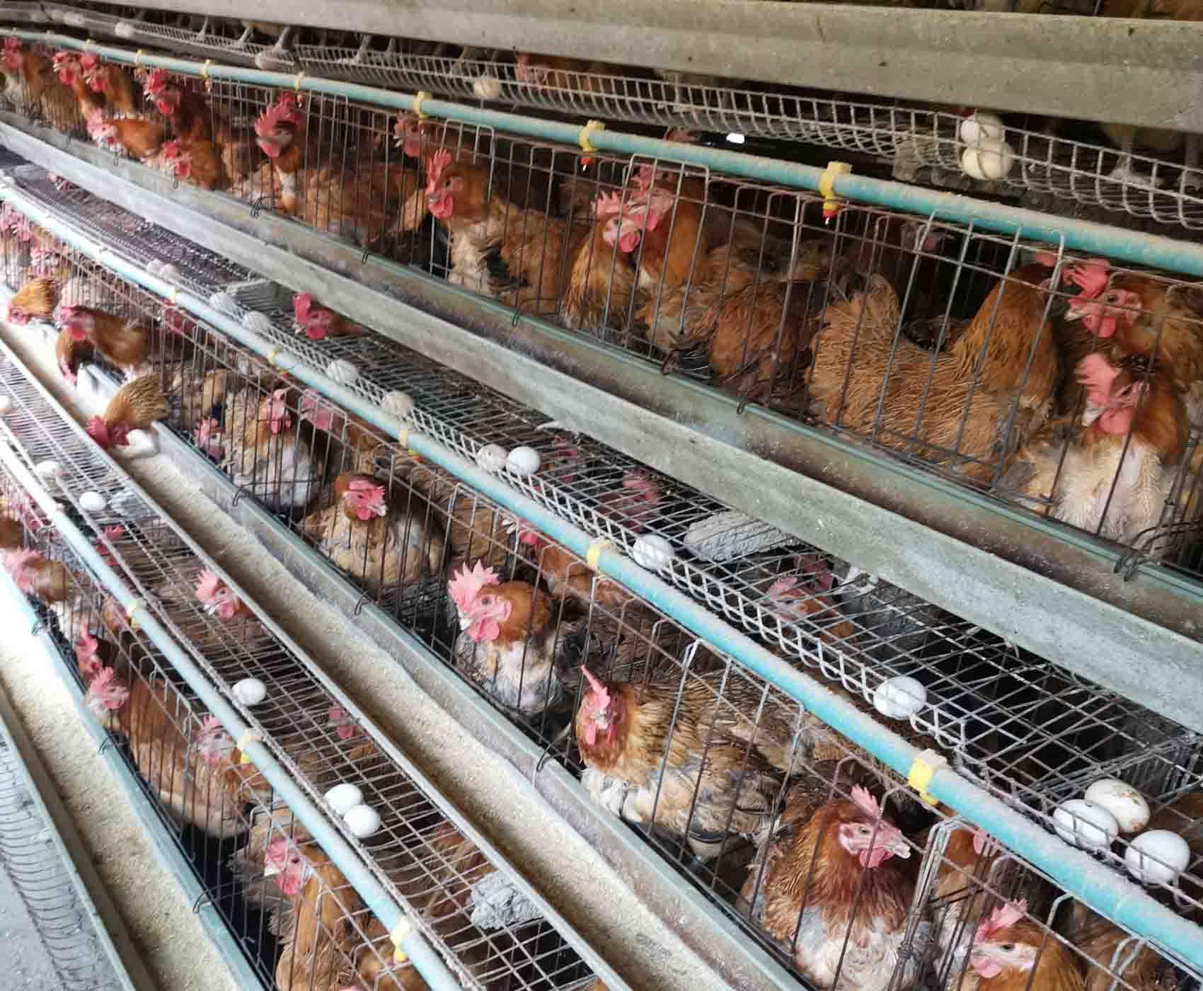 鸡苗孵化专业提供-山西鸡苗孵化