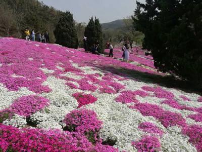 花海系列-青州花卉種植-濰坊區域專業的山東省青州市萬美園林花卉苗木種植場