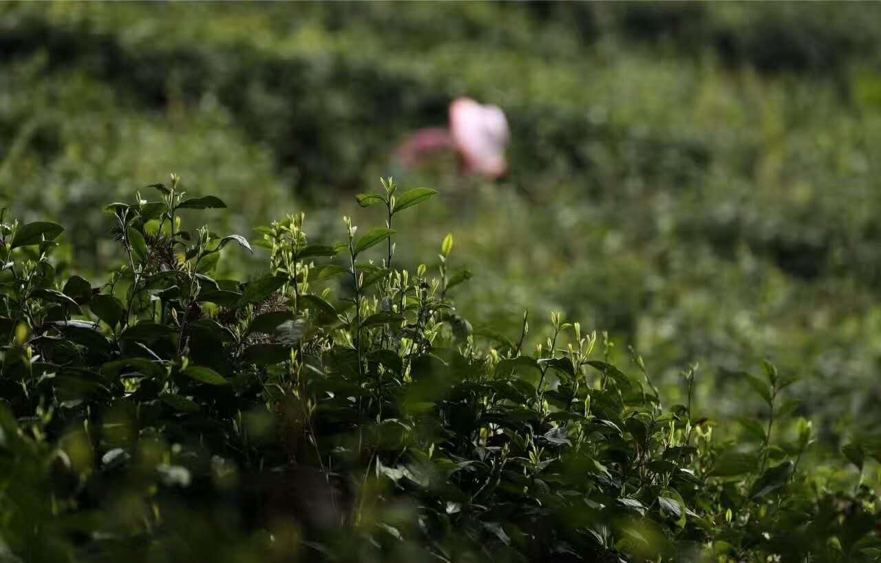 湖北优质红茶价位-采购实惠的茶叶批发就找峨眉有机茶