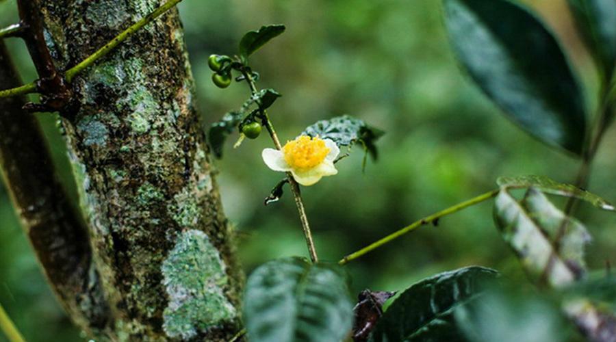 台湾优质有机茶批发|优惠的茶叶批发供应