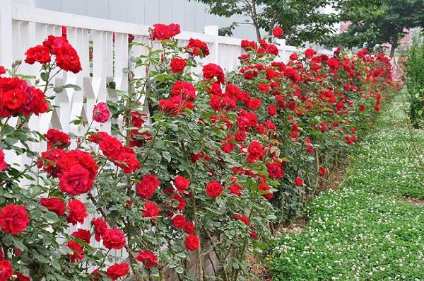 青州哪里有藤本月季,地被月季,大花月季,种植基地【千艺】