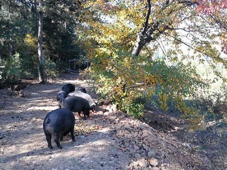 铁岭可靠的散养黑猪供应商_散养黑猪市场行情