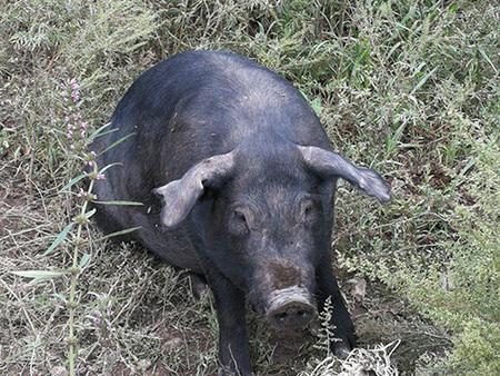 供應鐵嶺不錯的散養黑豬_沈陽散養黑豬市場價格