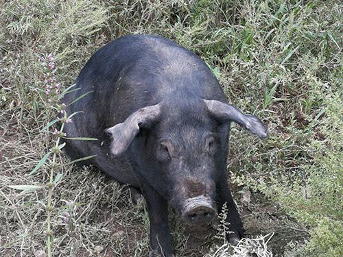 想买好的黑猪就到铁岭忆农源牧业 |黑猪多少钱