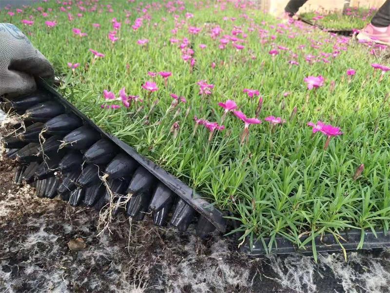 欧石竹成品种植-知名的欧石竹成品供货商,当属一分利花卉