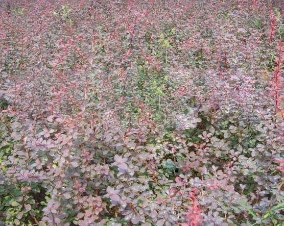 红叶小柏哪里卖|成活率高的红叶小柏出售