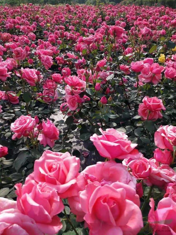 山西品種月季哪里有@興凱花卉|品種月季價格,優惠發售中