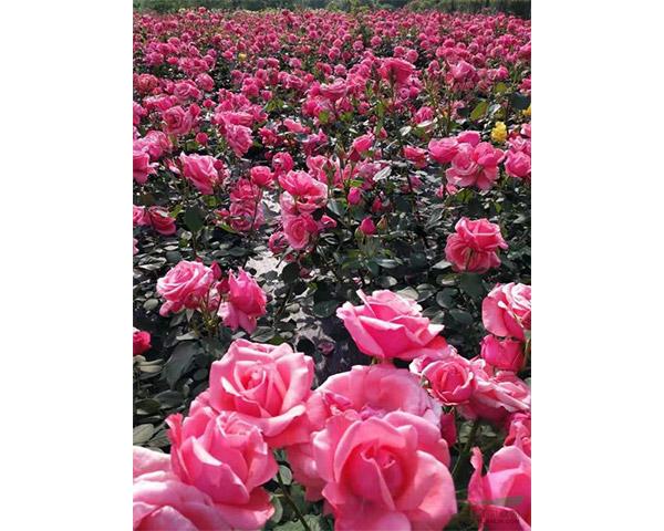 潍坊品种月季供应商_想买品种月季当选兴凯花卉苗木