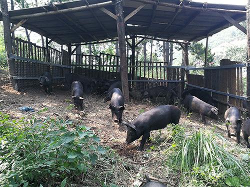 盘锦山黑猪|买山黑猪当然是到铁岭忆农源牧业