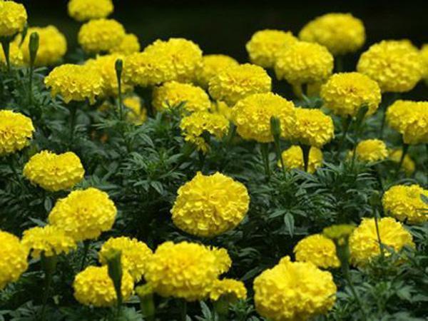 山东-威海国庆菊种植基地—【【犹有花枝俏】】河北国庆菊哪家好