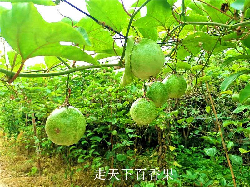 黄金百香果产地-福建报价合理的黄金百香果供应