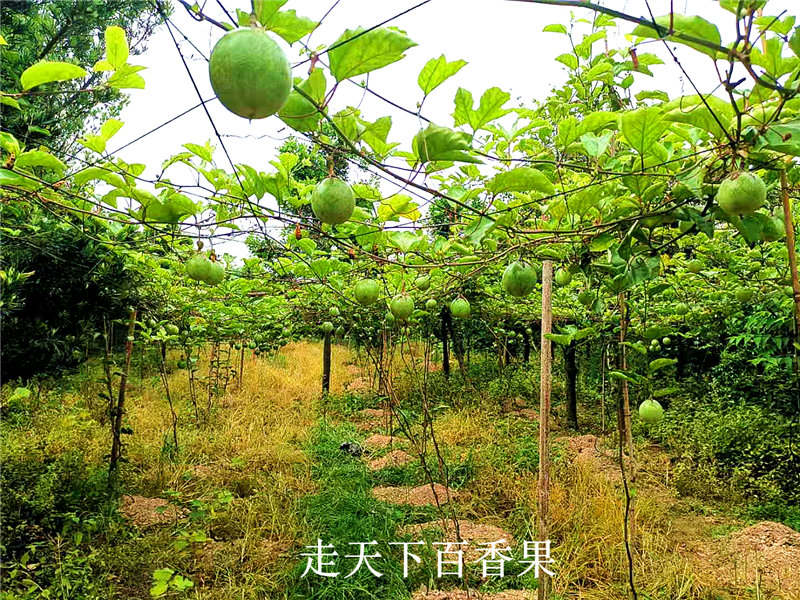 湖北黄金百香果_漳州口碑好的黄金百香果提供