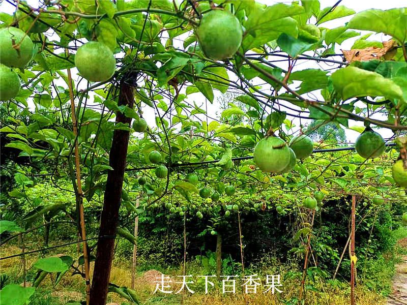 辽宁黄金百香果-漳州口碑好的黄金百香果供应商