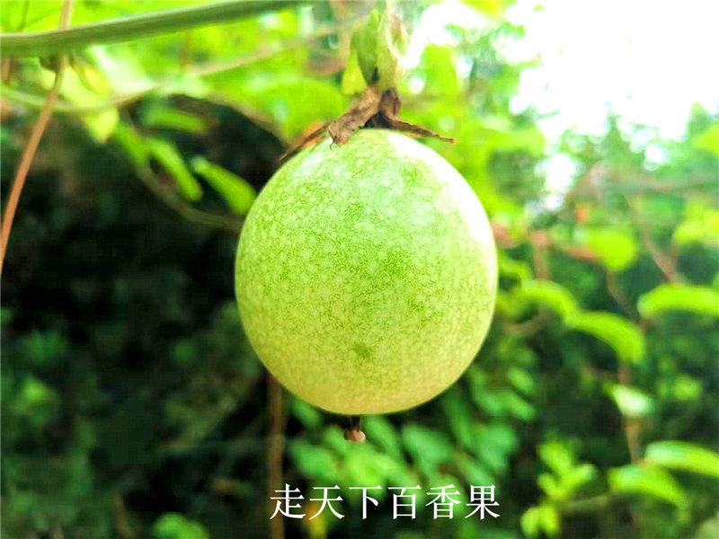 黄金百香果_漳州价格超值的哪里买_黄金百香果