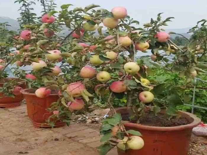 内蒙古苹果盆景