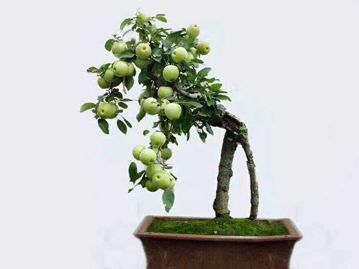 榆林苹果盆景哪家好-专业的陕西苹果盆景供应商推荐