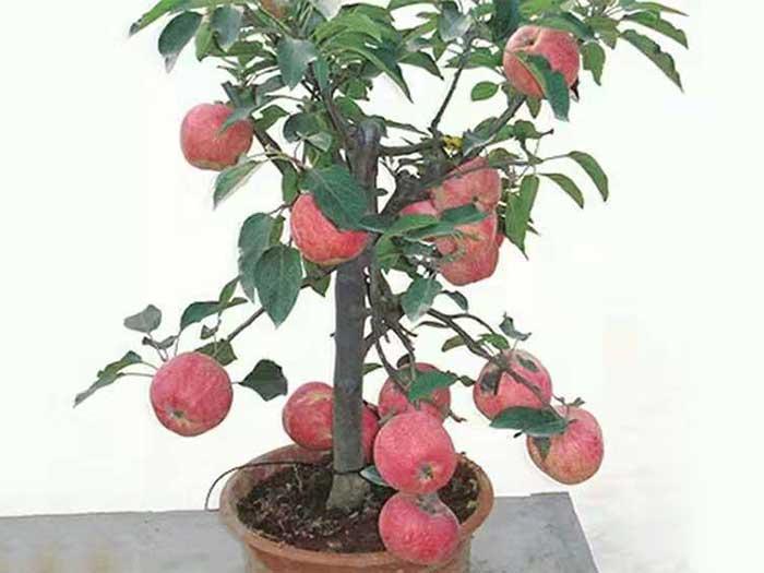 新疆苹果盆景厂家直销 价格公道的新疆苹果盆景哪里有供应