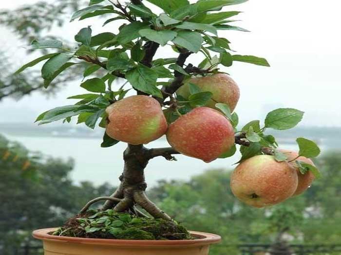新疆盆栽苹果哪家好-宁夏盆栽苹果现货供应