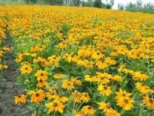 成都耐寒宿根花卉|潍坊宿根花卉哪里有供应