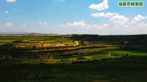 常绿树种植基地-成活率高的常绿树苗木批发