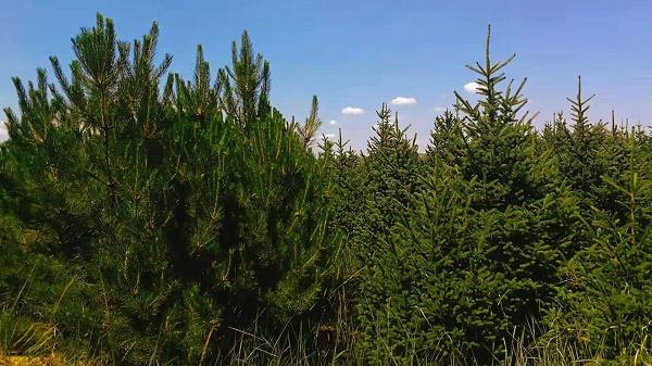 常绿树种植厂家_呼和浩特常绿树苗木价格怎么样
