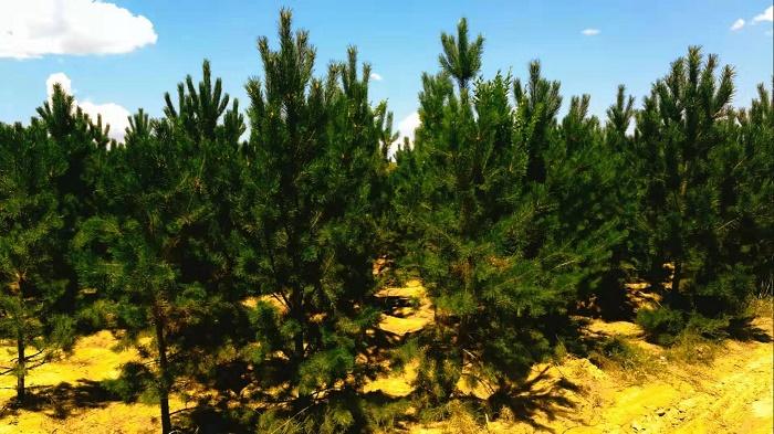 呼和浩特乌克兰花叶榆找谁家-供应内蒙古有品质的乔木树苗