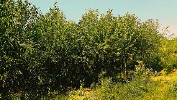 包头黄叶垂榆价格-果树树苗上哪买好