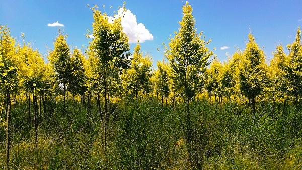 內蒙綠化樹木購買-大量出售內蒙古樹苗