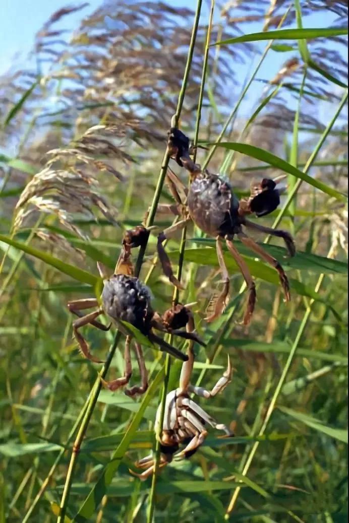 盘锦野生河蟹